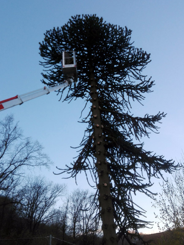 abbattimento alberi (2)